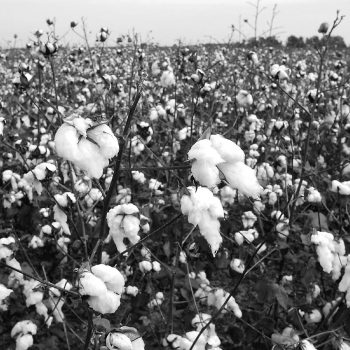 Cotton field, Mississippi