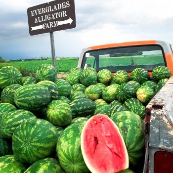 Watermelons in pickup truck, Florida Everglades