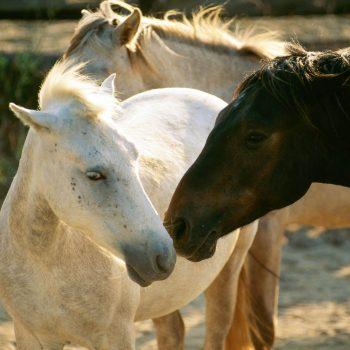 Horses nuzzling, Provence, France