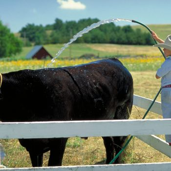 Young cowboy watering steer with hose, Arthur County, Nebraska