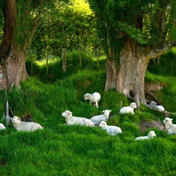 Bucolic scene of sheep on green grass under trees, New Zealand